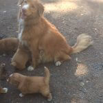 nicholas and pups - tollers